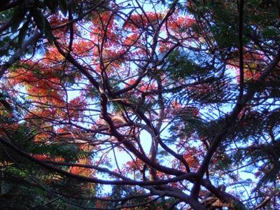 Cal_Tree.jpg