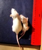 Gm Research Showing Same Age Mice Differences